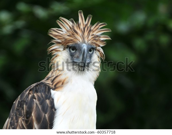 The Philippine Eagle also known as the Monkey-eating Eagle