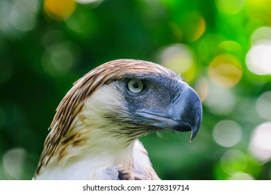 Philippine Eagle (Pithecophaga jefferyi), also known as the Monkey-eating Eagle, Davao, Mindanao, Philippines