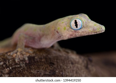 Philippine false gecko (Pseudogekko compresicorpus)