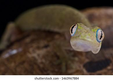Philippine false gecko (Pseudogekko compresicorpus)