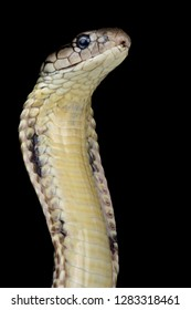 Philippine King cobra (Ophiophagus hannah)