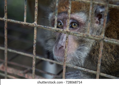 Philippine long-tailed macaque caged, Bohol, Philippines