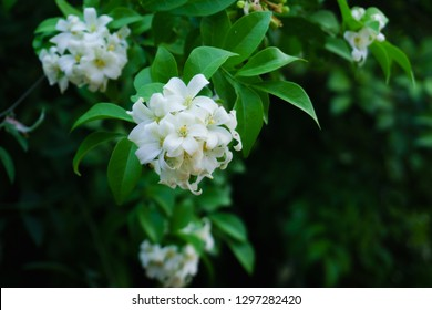 Philippine national flower is the gardenia flower glass or Sampaguita Jasmine flowers.