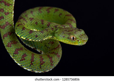 Philippine pit viper (Trimeresurus flavomaculatus) male