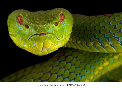 Philippine pit viper (Trimeresurus flavomaculatus)