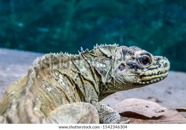 Philippine Sailfin Lizard Hydrosaurus Pustulatus Oviparous」の写真 ...