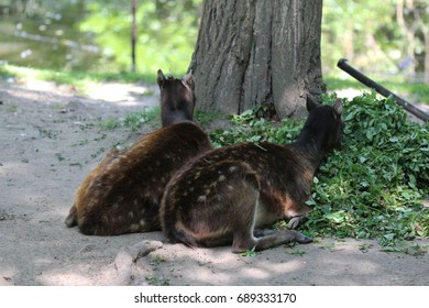 Philippine spotted deer