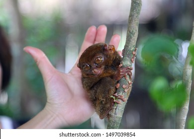 Philippine tarsier is the world's smallest monkey species, an endangered wild primate that lives in the tropical jungles of the Philippines. The background is the proportion of young girl hand.