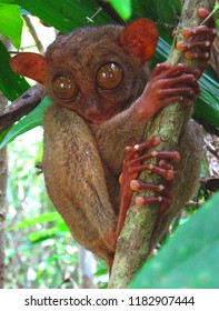 Philippines Tarsier Worlds Smallest Primate