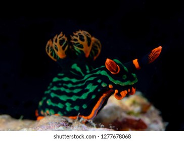 philippines tropical nudibranch