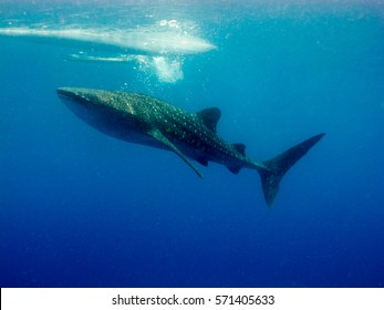 Philippines. Whale shark (Rhincodon typus) is a slow-moving filter feeding shark and the largest known extant fish species