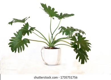 Philodendron bipinnatifidum pot plant in white pot against white background.  - Shutterstock ID 1735751756