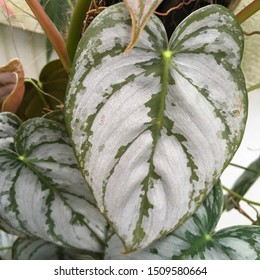 philodendron brandtianum silvers leaves heart leaf