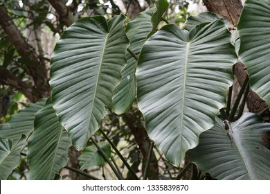 Philodendron erubescens or California Trixis, evergreen climber, Blushing Philodendron