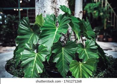 TÌNH YÊU CÂY CỎ ĐV.3 - Page 3 Philodendron-giganteum-air-purifier-unique-260nw-1761271268
