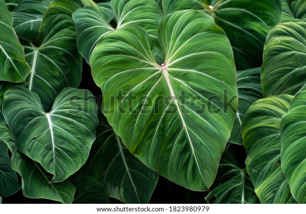 Philodendron Gloriosum growing wild in the rain forest. Green velvet, white vein,  heart shape, rainforest foliage, huge leaf. Suitable for indoor plant.