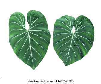 Philodendron Gloriosum, leaves, heart shape plant, indoor or garden, exotic foliage with velvet texture, popular tropical jungle paradise and rainforest design patterns, isolated on white background