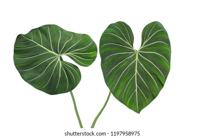 Philodendron gloruisum green leaves, velvet soft, tropical jungle plant, heart shaped design pattern, rainforest foliage, outdoor and windowsill, isolated on white background