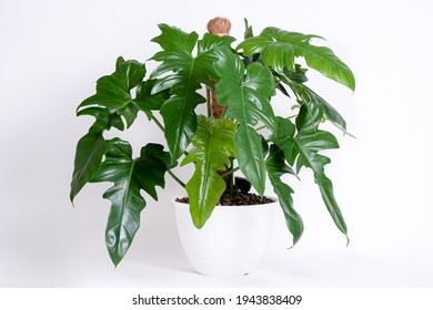 Philodendron Golden Dragon plant bushy in isolated white background