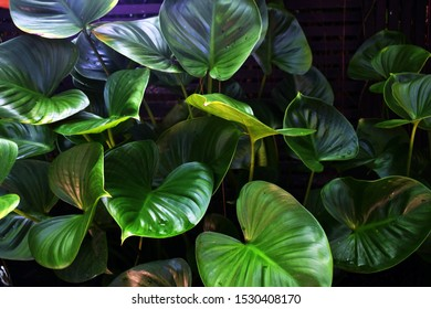 Philodendron green leaves were arranged in the beautiful pattern in the garden.