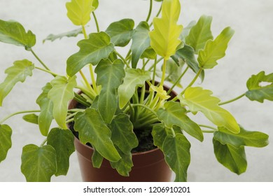 Philodendron Green Leaves Philodendron xanadu Mini