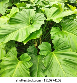 Philodendron or Heart-Leaf-Philodendron for potted plant