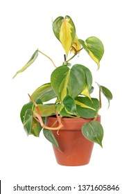 Philodendron hederaceum var. oxycardium (syn. Philodendron scandens subsp. oxycardium) with variegated green leaves in flowerpot isolated on white background