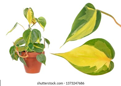 Philodendron hederaceum var. oxycardium (syn. Philodendron scandens subsp. oxycardium) isolated on white background