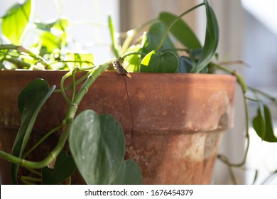 Philodendron house plant in cracked terra cotta pot in sunshine