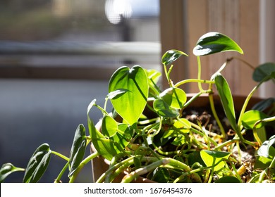 Philodendron indoor house plant heart shaped leaves in a flower pot in a window with sunshine