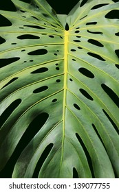Philodendron Leaf (A Tropical Plant)