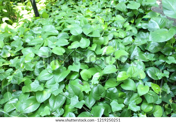 Philodendron Leaf Around Heart Shaped Leaf Stock Photo Edit