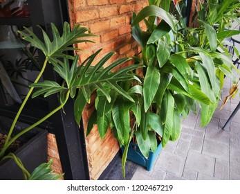 Philodendron leaf plant decoration, Philodendron plant