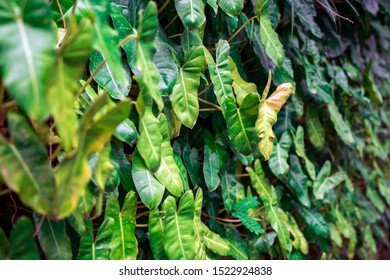 Philodendron leaves, green leaves in tropical forest, Close up on cute heart shaped leaves.
