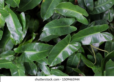 Philodendron leaves, heart shaped dark green leaves in tropical forest