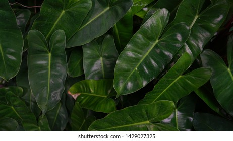 Philodendron leaves. Shape of leaves look like sweetheart.Philodendron is a large genus of flowering plants in the Araceae family. background