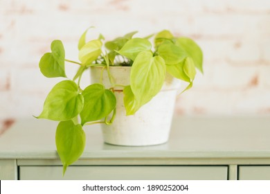 Philodendron Lemon Lime in white painted terracotta pot against red brick wallpaper in background on mint green shelf.