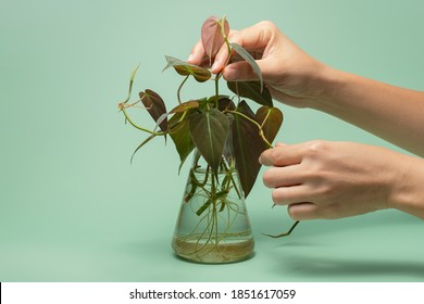 Philodendron Micans plant for interior home decoration. Water propagation for indoor plants.