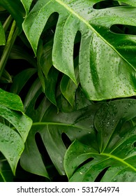 Philodendron monstera leafs with raindrops.