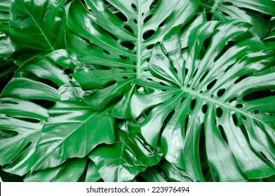 Philodendron monstera obliqua, green leaf background, dark tone