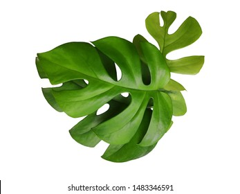 Philodendron monstera Split Leaf isolated with clipping path on white background