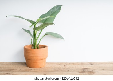 Philodendron plant in pot on table at home