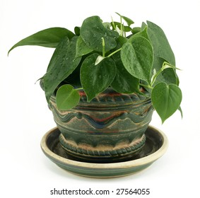 Philodendron in Rustic Ceramic Pot on White Background