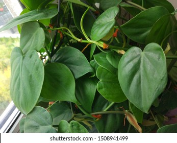 Philodendron scandens or Heartleaf philodendron. Houseplant for home decoration