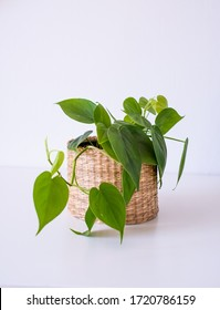 Philodendron scandens heartleaf, popular trending easy care houseplant in a wickered pot, boho decor interior design, urban gardening
