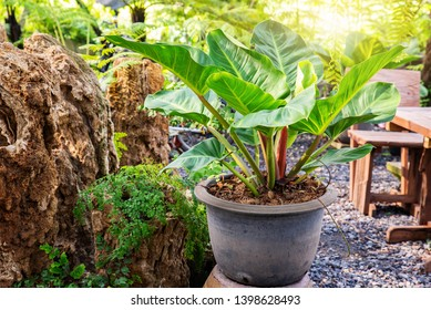 Philodendron (Philodendron sp. 'Ruaysap') is one of three subgenera within the genus Philodendron. Ornamental plants in tropical garden in thailand