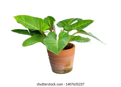 Philodendron (Philodendron sp. 'Ruaysap') is one of three subgenera within the genus Philodendron. Ornamental plants for decoration tropical garden in thailand. isolated