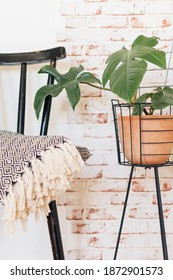 Philodendron Squamiferum next to black vintage chair with blanket on top