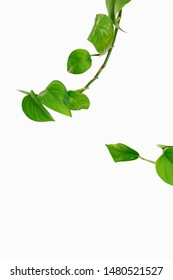 Philodendron vines with heart shape leaves isolated on white background