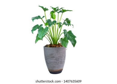 Philodendron (Philodendron xanadu Croat, Mayo & J.Boos) in modern vase. isolated on white background